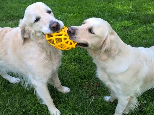 Pies Milo