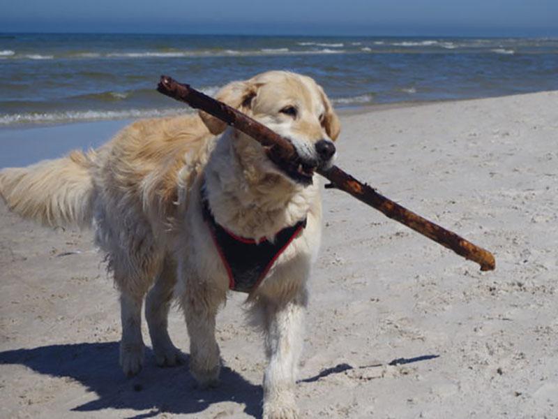zdjęcie psa na plaży, golden retriever z patykiem w pysku, w tle morze, słoneczny dzień