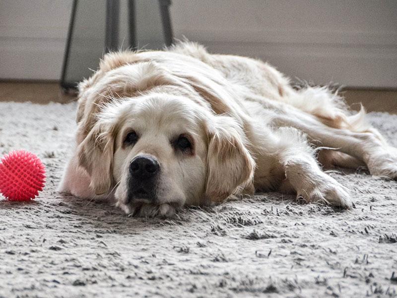 zdjęcie psa w pokoju, golden retriver leży na dywanie, obok różowa piłeczka