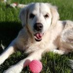 zdjęcie psa, golden retriver leży na trawie, obok różowa piłeczka
