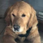 zdjęcie psa w pomieszczeniu, złoty golden retriever leży na podłodze wpatrzony gdzieś za fotografującego,
