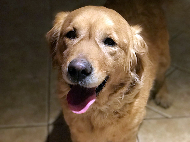 zdjęcie psa, złoty golden retriver stoi wpatrzony wobiektyw, pysk otwarty, lekko dyszy