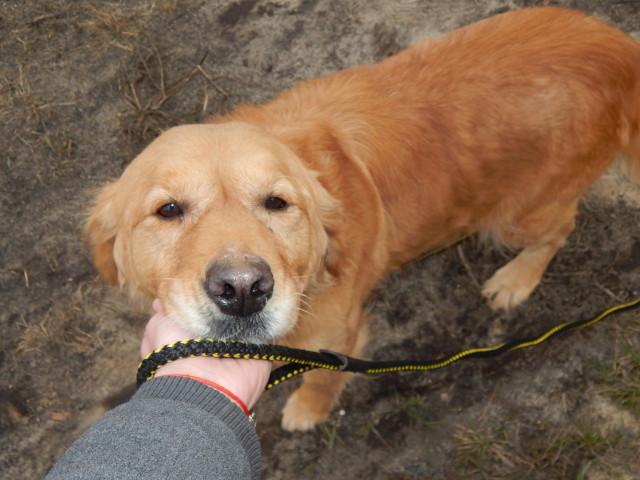 zdjęcie psa, złoty golden retriver stoi przed opiekunem i trzyma pysk na dłoni, wpatrzona w obietyw