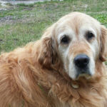 zdjęcie psa, złoty golden retriver leży wpatrzony w obiektyw, widoczna wyraźna siwa maska na pysku, spod futra wystaje fundacyjna adresówka