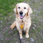zdjęcie psa na spacerze, złoty golden retriver siedzi na ścieżce wpatrzony w obiektyw, na szelkach wisi pomarańczowa adresówka