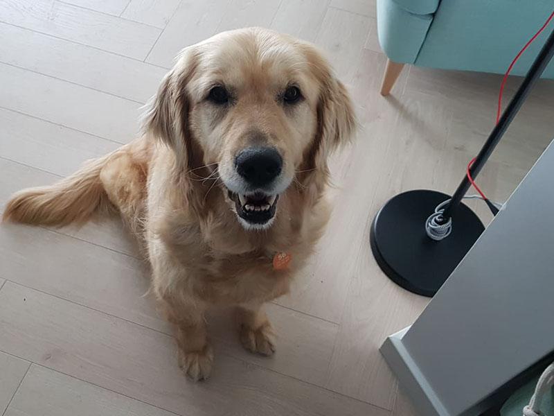 zdjęcie psa w pomieszczeniu, złoty golden retriver siedzi na kafelkach wpatrzony w obiektyw
