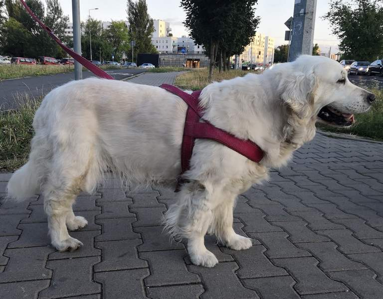 zdjęcie psa na spacerze, biały golden retriever stoi bokiem na chodzniku, jest zapięty w bordowe szelki