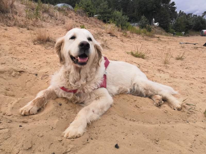 zdjęcie psa na plaży, golden retriever leży na piasku, w tle wydmy, pochmurny dzień