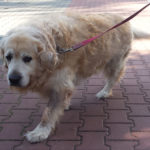 zdjęcie psa z nadwagą, złoty golden retriever spaceruje na smyczy