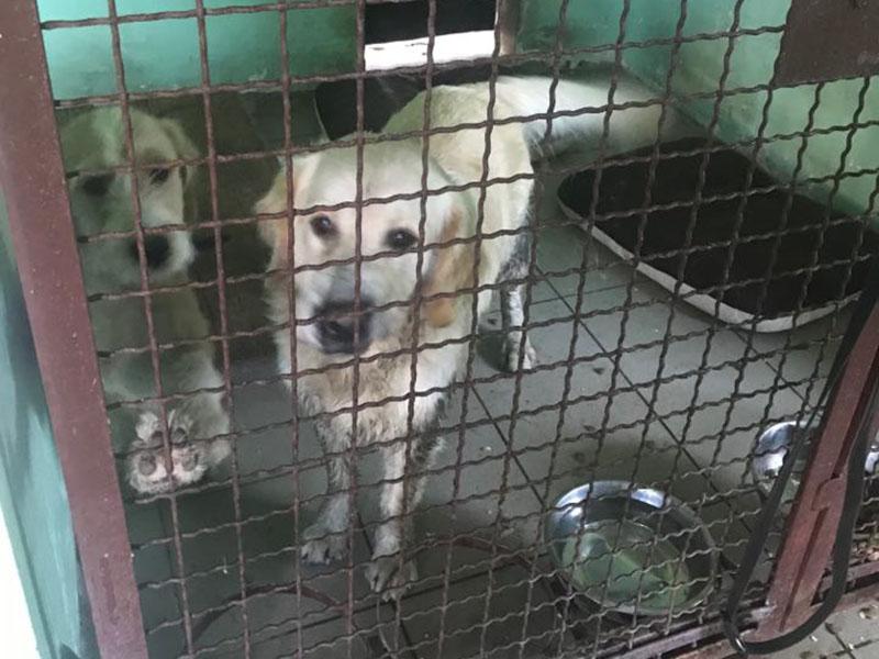 zdjęcie psa, golden retriever w boksie, obok drugi pies trzyma łapę na kracie