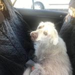 zdjęcie psa w aucie, biały golden retriever na tylnym siedzeniu, widoczne zmiany skórne na całym ciele