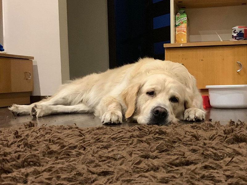 zdjęcie psa, golden retriever leży w pokoju na dywanie, odpoczywa