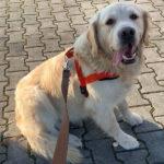 zdjęcie psa w czerwonych szelkach, na smyczy, golden retriever siedzi na chodniku