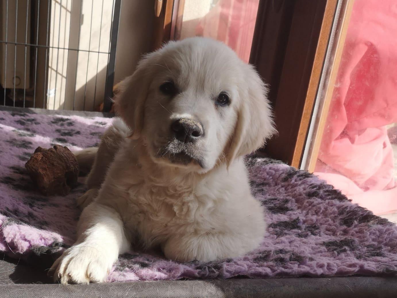 zdjęcie psa, golden retriever, szczeniak