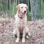 zdjęcie psa, golden retriever siedzi
