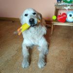 zdjęcie psa, golden retriever z gumowym kurczakiem w pysku