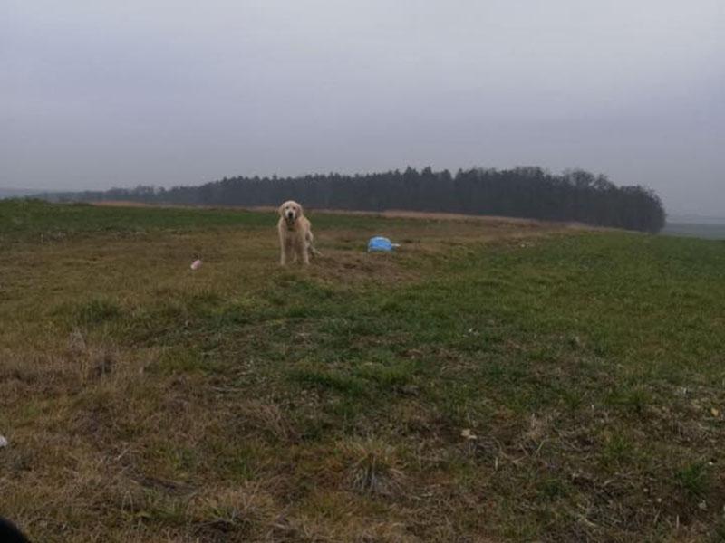 zdjęcie psa, golden retriever stoi na łące