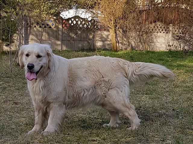 zdjęcie psa, golden retriever stoi